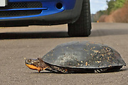 Blanding's Turtle with car approaching