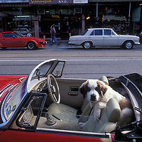 Australia, Victoria, Saint Bernard puppy sits in back seat of convertible on Auckland Street in Saint Kilda near Melbourne
