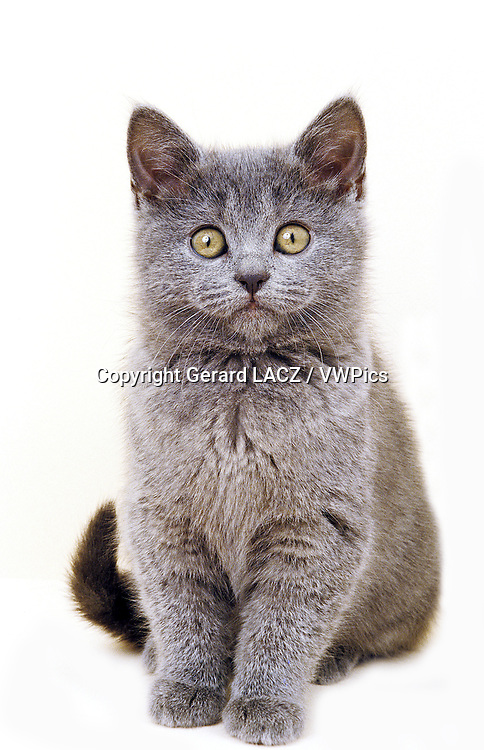 Chartreux Domestic Cat, Kitten sitting against White Background