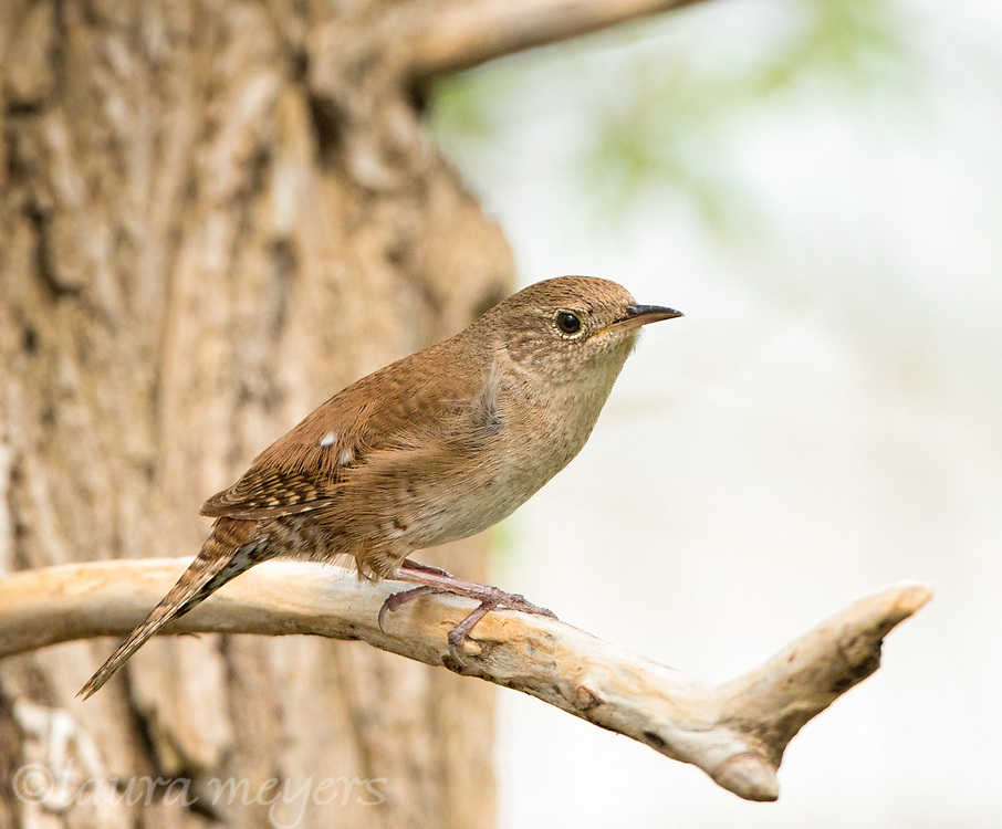 House Wren on a branch jutting out from tree trunk.