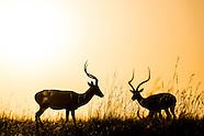 Kenya - Impala At Sunset In Maasai Mara - 16 Aug 2015