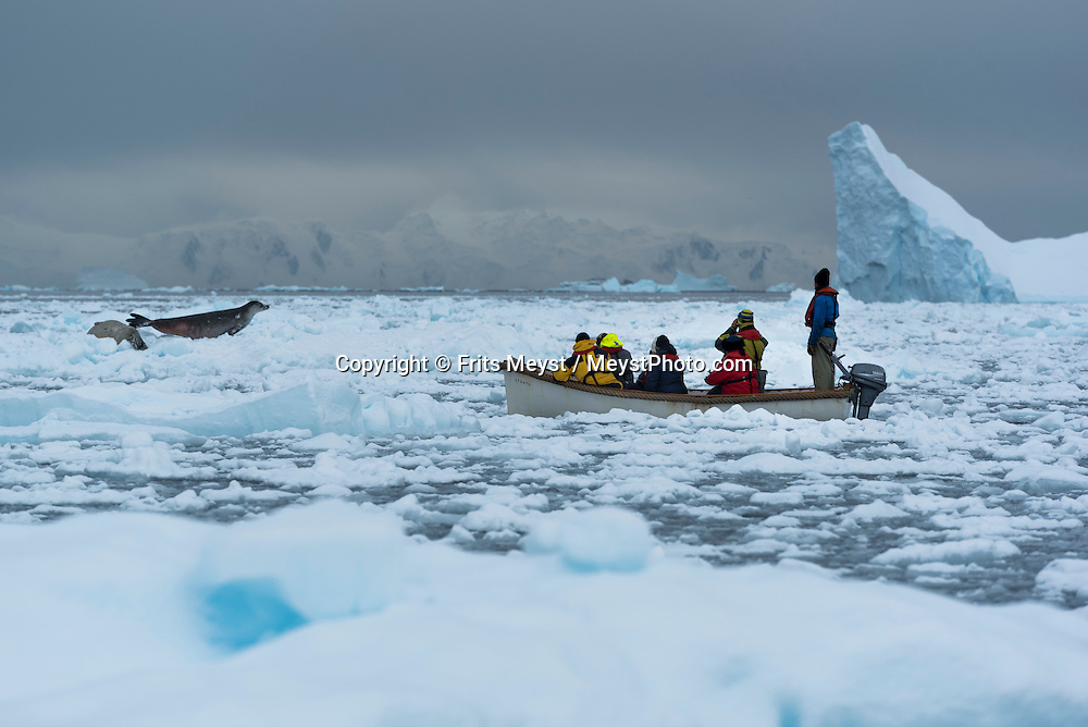 Antarctica, February 2016. Crabeater seals. Zodiac cruise through Cierva Cove, in Huges Bay, which is framed at its head by glacial front of the superb Brequet Glacier, and it's a place used by several species of seals to fish, hunt and rest on the ice floes. Dutch Tallship, Bark Europa, explores Antarctica during a 25 day sailing expedition. Photo by Frits Meyst / MeystPhoto.com