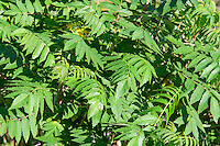 Smooth sumac spread rapidly once the first plant becomes established in an area. This native member of the cashew family produces very beautiful bright green leaves in the spring that turn to bright scarlet in the winter. Native Americans in the Pacific Northwest traditionally smoked these dried leaves for medicinal uses, such as treating ulcers.