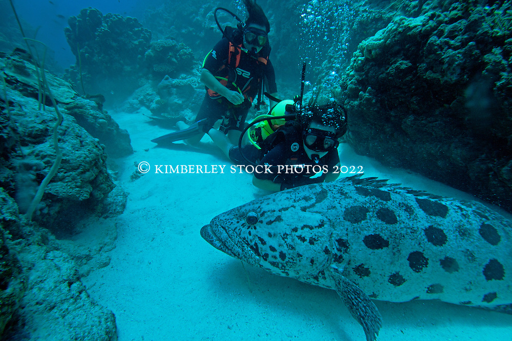 """Two scuba divers are visited by """"Cuddles"""", a large and friendly Potato Cod at Cod Hole.  The Potato Cod (Epinephalus tukula) is a protected species.  Cuddles is particularly curious, and follows divers as they swim."""