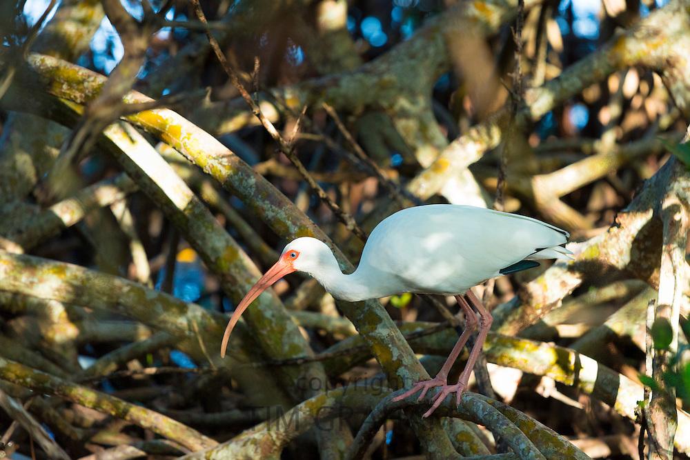 American White Ibis, Eudocimus albus, a wading bird, on Captiva Island, Florida USA