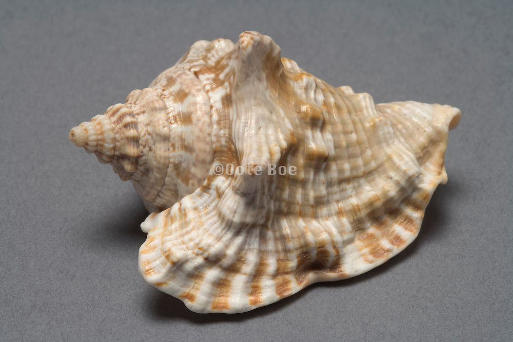 still life of a sea shell