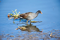 Common Gallinule (Gallinula galeata) searching for food along edge of Lake Chapala, Jocotopec, Jalisco, Mexico
