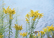 Goldenrod with a background of water patterns and color.