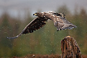 Havørn letter fra stubbe | White-tailed Eagle take-off from stump.