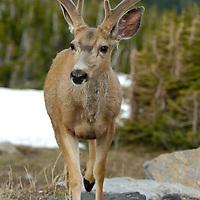mule deer velvet buck young feeding in brush, alpine