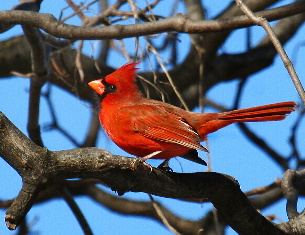 Another male cardinal in the dead of Winter, 2003.