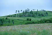 Aspen stands on the Nature Conservancy's Zumwalt Prairie Preserve. The aspen stands have been slowly dissappearing from the prairie, the reasons are unclear but young saplings are typically destroyed by browsing animals such as deer and elk. Zumwalt Prairie is one of the largest remaining intact patches of bunchgrass prairie left in North America. Spring 2001
