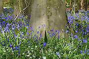 Native English bluebells (Hyacinthoides non-scripta) surround the smooth trunk of a native Beech tree (Fagus sylvatica) in Southrey Wood, Lincolnshire. <br />