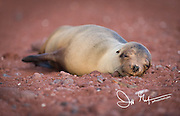 A Galapagos sea lion rests on a red sand beach on Rabida island, Galapagos islands, Ecuador.