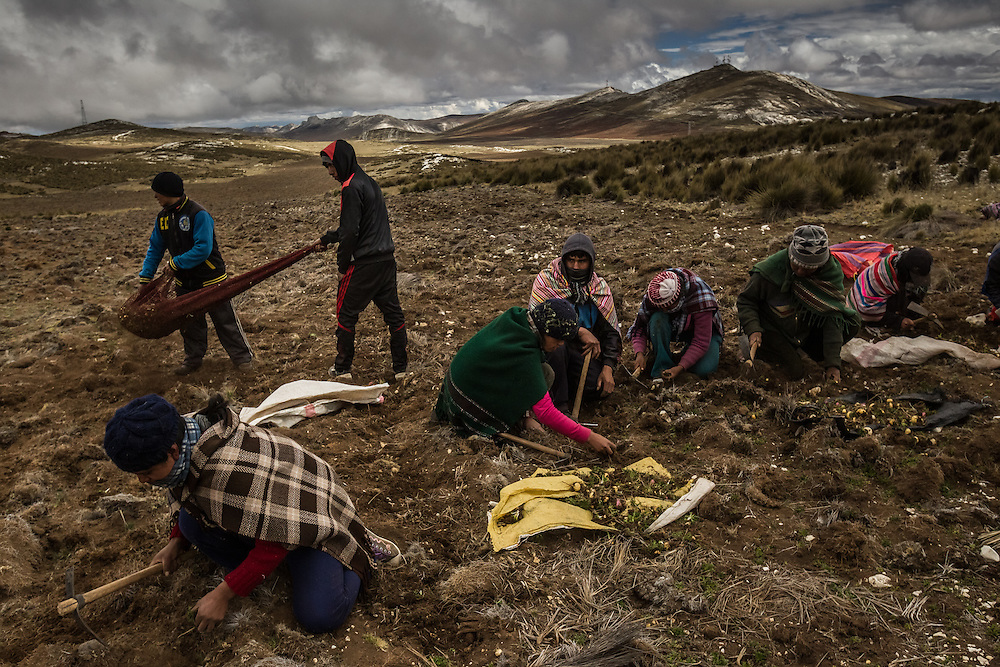 TARMA, PERU - OCTOBER 3, 2014: Workers harvest maca at an altitude of 14,800 feet in the mountains outside of Tarma, Peru.  Maca is one of the latest exotic plants from a remote corner of the world to gain an international following. But nothing prepared farmers here for what happened this year, when buyers from China showed up with suitcases full of cash to snap up the harvest, pushing prices into the stratosphere. CREDIT: Meridith Kohut for The New York Times