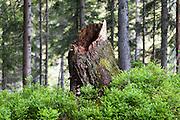 Baumstumpf im Wald, Bayerischer Wald, Bayern, Deutschland   tree trunk in forest, Bavarian Forest, Bavaria, Germany