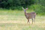 White tailed deer doe near Seawall Campground, Acadia National Park, ME