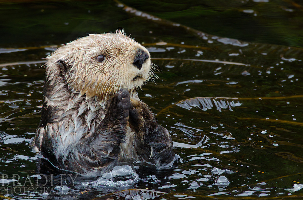 Shot in Southeast Alaska at the Inian Islands, West of Juneau, this male sea otter was surprisingly friendly. We were on our way from there to Sitka on a live aboard dive boat called the Swell. We saw many sea otters along the way, but most would have little to nothing to do with us.