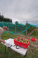 """The white wine grape pinot gris is harvested at Symphony Vineyards, a family-owned winery on the Saanich Penninsula on Vancouver Island, BC. The grape normally has a grayish-blue fruit, accounting for its name (gris meaning """"gray"""" in French) but the grapes can have a brownish pink to black and even white appearance."""
