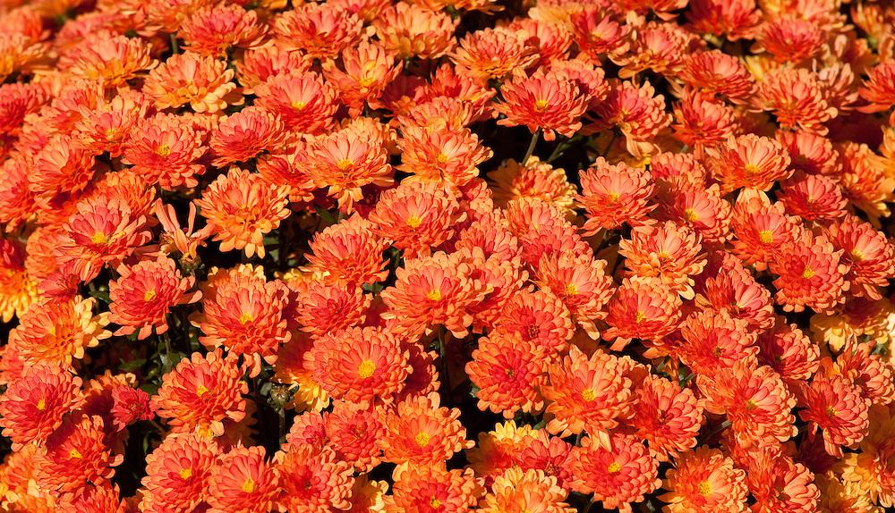 Close up of autumn mums