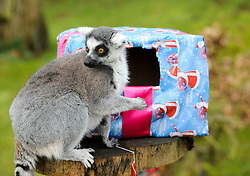 © Licensed to London News Pictures. 18/12/2012 London, UK. Festive treats are given to the Ring Tailed Lemurs at Whipsnade Zoo, Bedfordshire..Photo credit : Simon Jacobs/LNP