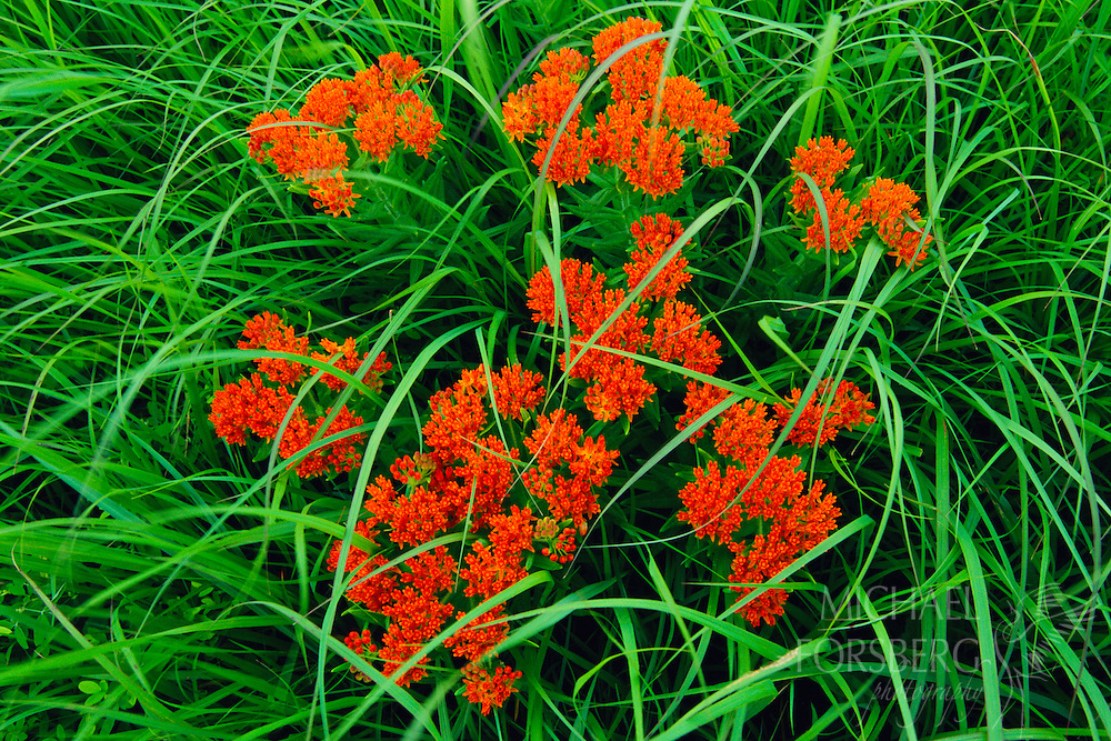 Bright red butterfly milkweed.  Konza Prairie, Kansas