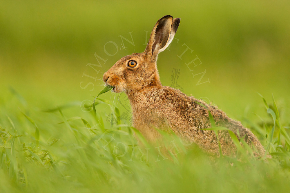 European Hare (Lepus europaeus) adult, feeding in grass meadow, Norfolk, UK.