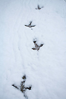 Capercaillie (Tetrao urogallus) footprints in snow, Cairngorms National Park, Scotland.