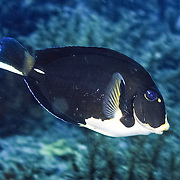Doctorfish displaying an unusual marking pattern; picture taken Tobago.