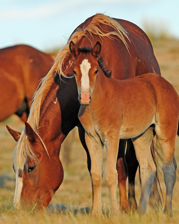 This wild mustang mare keeps a keen eye on her young colt during his first year of life, protecting him from dangers within and outside the herd.