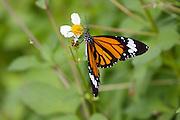 Taketomi-jima. Sujigurokabamadara butterfly.