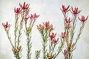 With its large, bowl shaped inflorescences, the king protea is one of the most spectacular members of the Proteaceae family. Although Proteas are native to South Africa, Australian soil and climate conditions make it easy to grow in Western Australia.