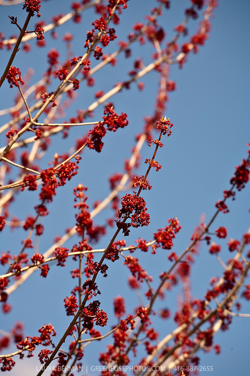 The flowers of the Red maple. Acer rubrum (Red Maple, also known as Swamp or Soft Maple), is one of the most common and widespread deciduous trees of eastern North America.