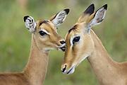Impala<br /> Aepycerus melampus<br /> Fawn grooming mother<br /> Serengeti National Park, Tanzania