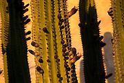 Organ pipe cactus, El Fuerte, Sinaloa, Mexico