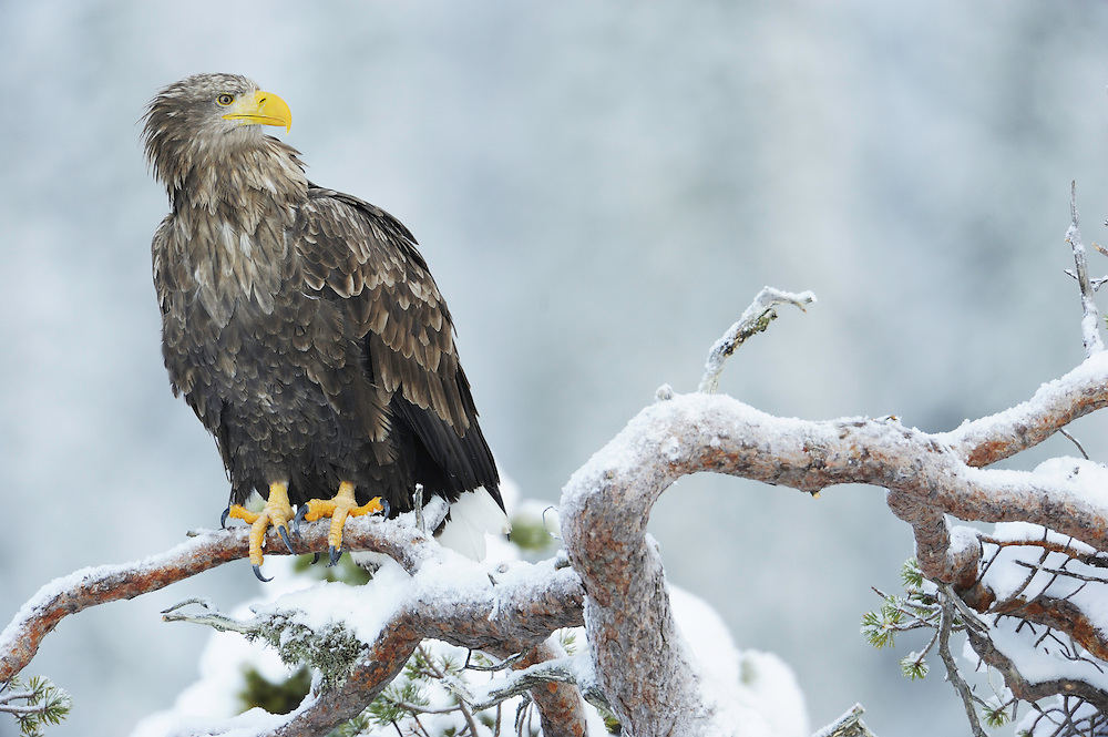 White-tailed sea eagle (Haliaeetus albicilla/ossifraga), Flatanger, Norway.