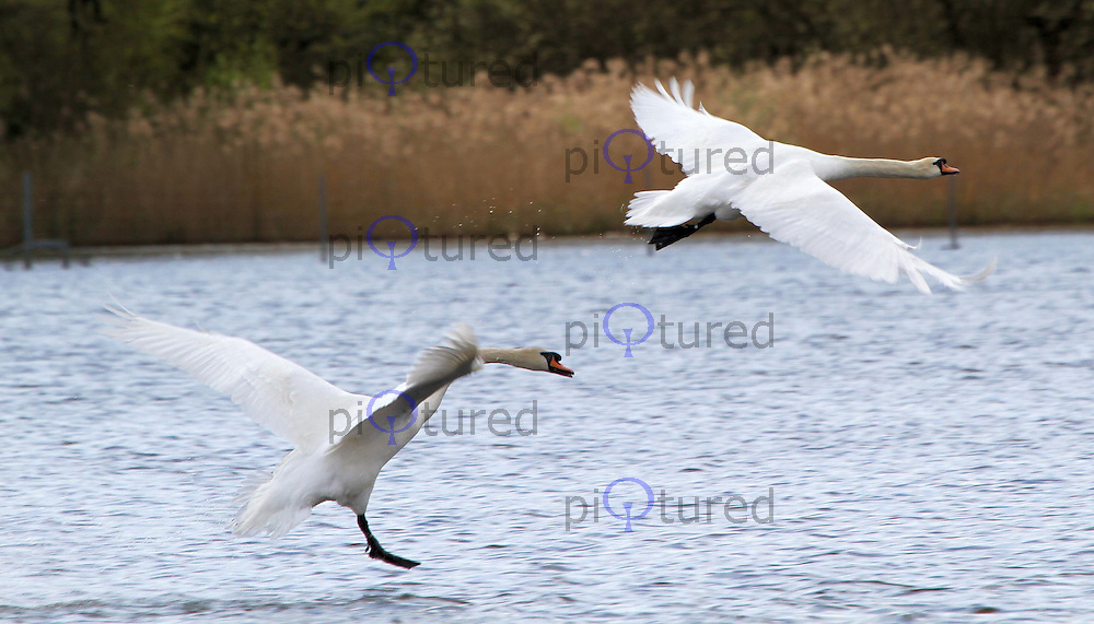 LONDON, UK, 20 April 2010: Richmond Park, Pen Pond. Swan. Mating. For piQtured Sales contact: +44 (0) 7916262580 (Picture by Richard Goldschmidt/Piqtured)