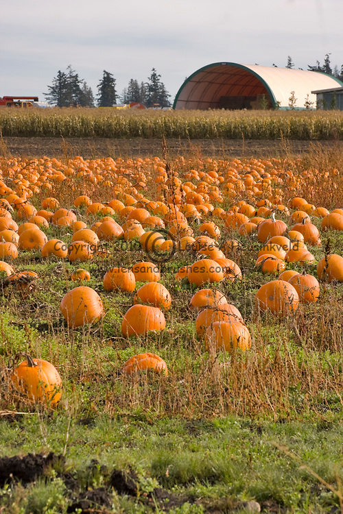 Field of pumpkins ready for harvest, Vancouver Island, British Columbia