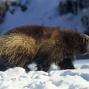 Wolverine, (Gulo gulo) Adult in Rocky mountains. Montana. Winter.  Captive Animal.