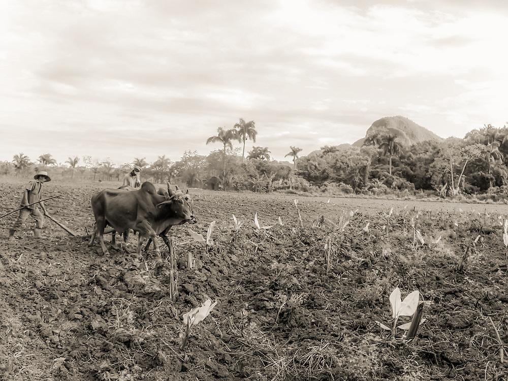 Farmer tills soil in tobacco field outside Vinales, Cuba. Copyright 2005 Reid McNally.