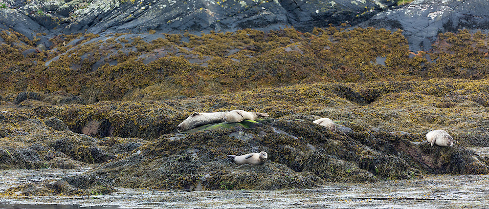 Common Seal or Harbour Seal, Phoca vitulina, colony of adults and seal pups juveniles basking on rocks and seaweed on shores of Loch Sunart at Ardery near Strontian in Argyll, Western Highlands of Scotland