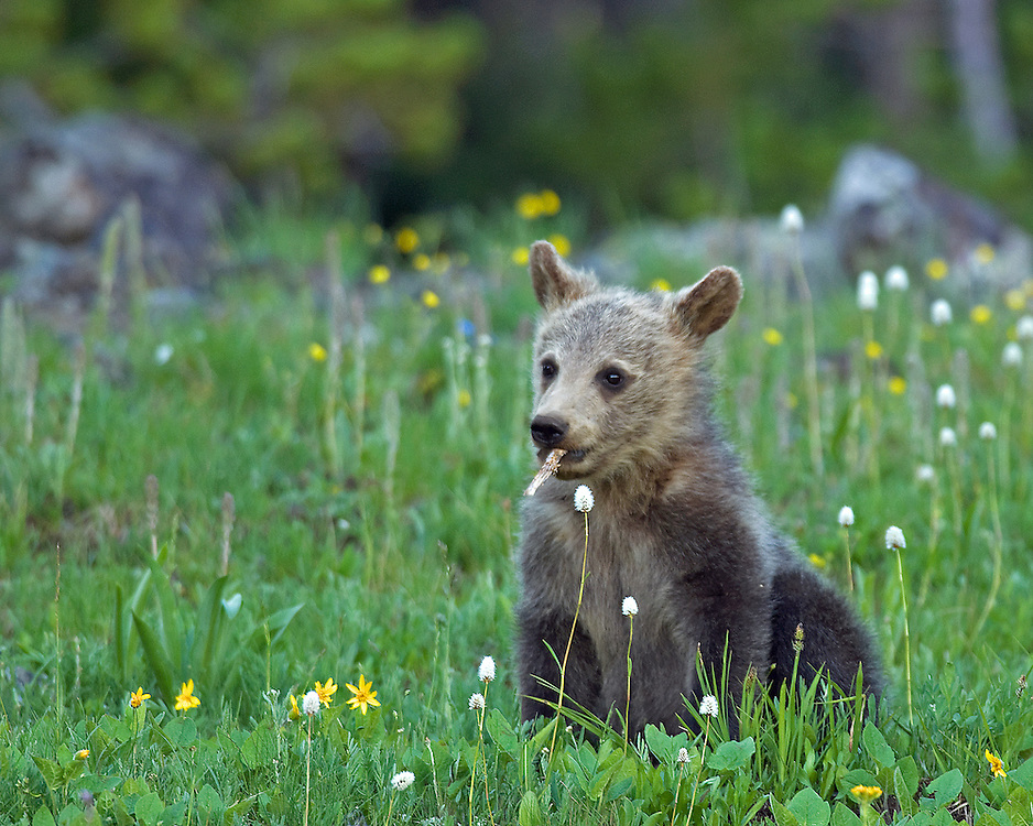 Grizzly bear cubs are known to play long and hard. Although the reason why bear cubs play is a mystery, it is thought that play helps to strengthen social bonds and improve cohesion within the bear's family group.
