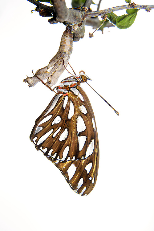 Gulf Fritillary Butterfly, Agraulis vanillae (resting on its chrysalis);<br />