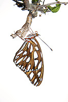 Gulf Fritillary Butterfly, Agraulis vanillae (resting on its chrysalis);<br /> Photographer:  Robert Rommel <br /> Property:  Sick Dog Ranch / Mitchell &amp; Dianne Dale, Michael Dale<br /> Jim Wells County