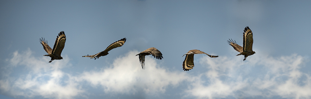 The flight of a crested serpent eagle (Spilornis cheela). It is a bird of prey that is found in forested habitats across Thailand and tropical Asia.