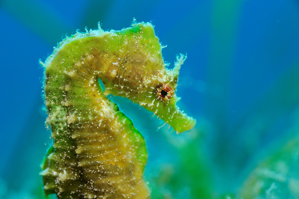 Short-snouted seahorse (Hippocampus hippocampus), Gozo, Maltese Islands