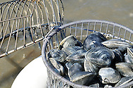 Basket of freshly dug clams or quohogs on Cape Cod beach
