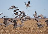 NEBRASKA Sandhill Crane Migration