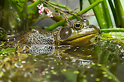 A male American bullfrog (Lithobates catesbeianus) in a wetland. This species is invasive in western North America.