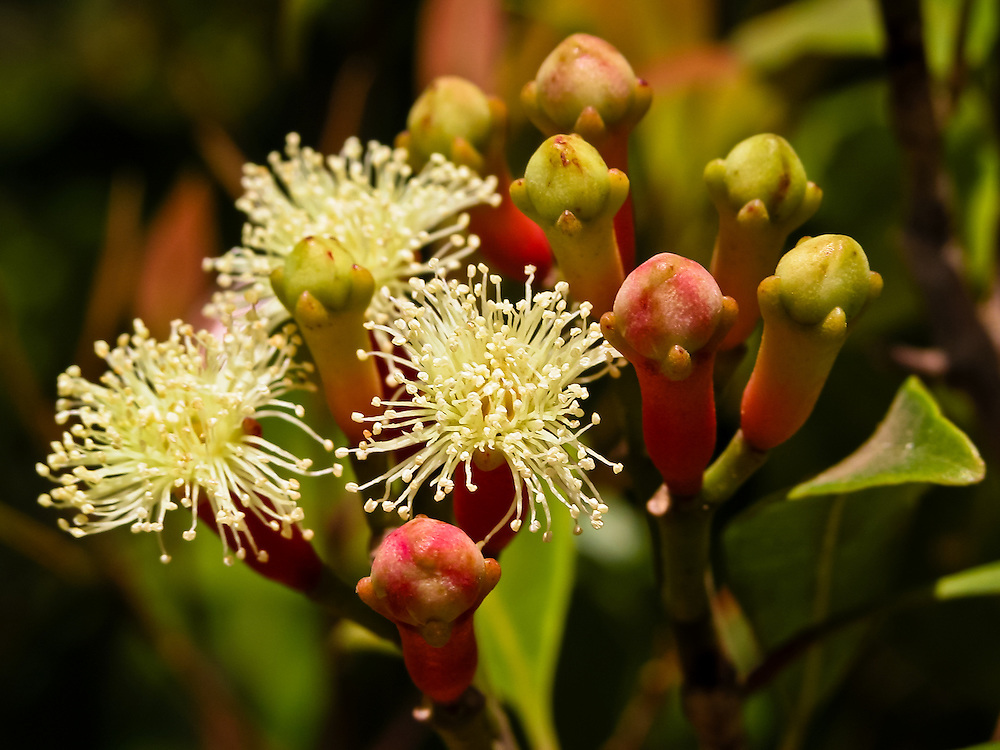 Stock photograph of budding clove flowers. These are the precursor aromatic Cloves (Syzygium aromaticum) that are a staple of the spice industry
